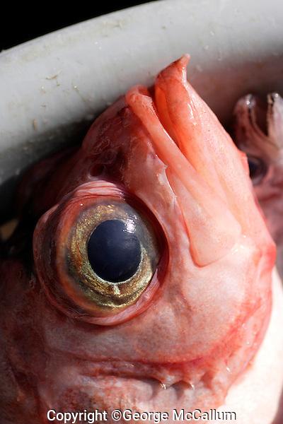 Close up of Deepwater redfish Sebastes mentella in basket Barents sea North Atlantic.