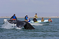 Excited whale watchers near an adult California Gray wh (Eschrichtius robustus) as it flukes-up in San Ignacio Lagoon on the Pacific Ocean side of the Baja Peninsula, Baja California Sur, Mexico. Each winter thousands of California gray whales migrate from the Bering and Chukchi seas to breed and calf in the warm water lagoons of Baja California. San Ignacio lagoon is the smallest of the three major such lagoons. Current (2008) population estimates put the California Gray wh at between 20,000 and 24,000 animals.