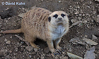 0329-1009  Meerkat, Suricata suricatta  © David Kuhn/Dwight Kuhn Photography.