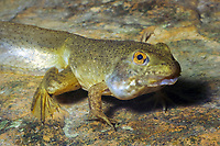 Bullfrog Tadpole (Lithobates catesbeianus or Rana catesbeiana)Showing emergence of front and back legs in its transition from tadpole to adult frog. (do) (c)