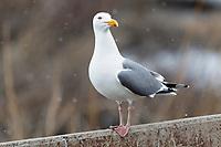 Vega Gull (Larus vegae). Chukotka, Russia. May.