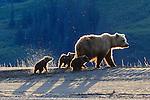 Brown bear and cubs, Lake Clark National Park, Alaska