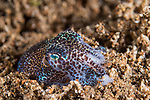 Dumaguete, Dauin, Negros Oriental, Philippines; a bobtail squid (Euprymna berryi) partially buried in the muck during a night dive