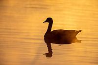 Canada Goose (Branta canadensis moffitti) swimming at sunrise at Riparian Preserve at Water Ranch, Gilbert, Arizona.