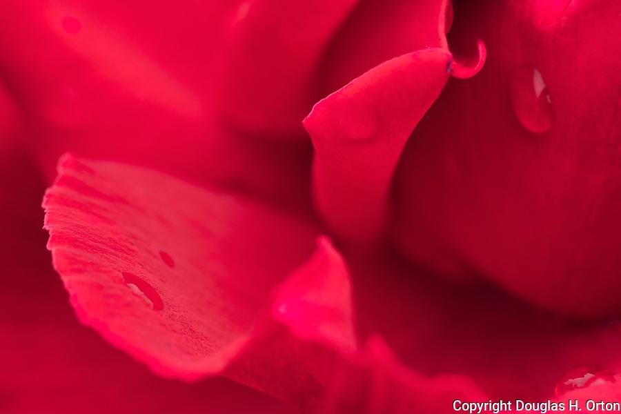 Red rose, close up, at Point Defiance Park Rose Garden, Tacoma, Washington.  Rose petals, rose stamen, rose water, macro, close up.
