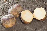 Steckrübe, Steck-Rübe, Rübe, Rüben, Steckrüben, Wruke, Kohlrübe, Butterrübe, Brassica napus subsp. rapifera, syn. Brassica napobrassica, rutabaga, swede, turnip, yellow turnip, neep, root, beet
