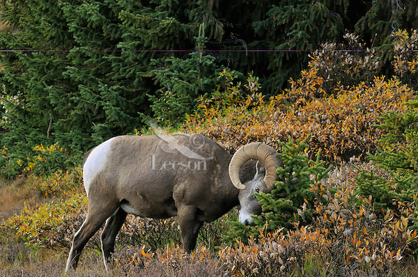 Bighorn Sheep Ram (Ovis canadensis) rubbing horns on stunted subalpine tree.  Northern Rockies.  Fall.