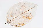 Leaf skeleton on black background.  Fine art image.