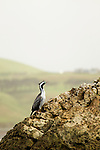 Spotted Shag (Phalacrocorax punctatus) in breeding plumage, Kaikoura, South Island, New Zealand