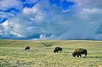 Bison herd on prairie at Wind Cave National Park, Black Hills of South Dakota, AGPix_0012.