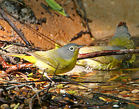 Adult Nashville warblers bathing. Note raised red crest on one bird.