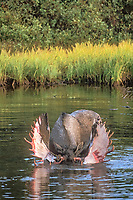 freshwater, moose, Alces alces, bull that just shed its velvet stands in a kettle pond and feeds on aquatic vegetation, Denali National Park, interior of, Alaska, USA