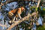 Adult male Proboscis Monkey (Nasalis larvatus). Riverine forest, Kinabatangan River, Sukau, Sabah, Borneo.
