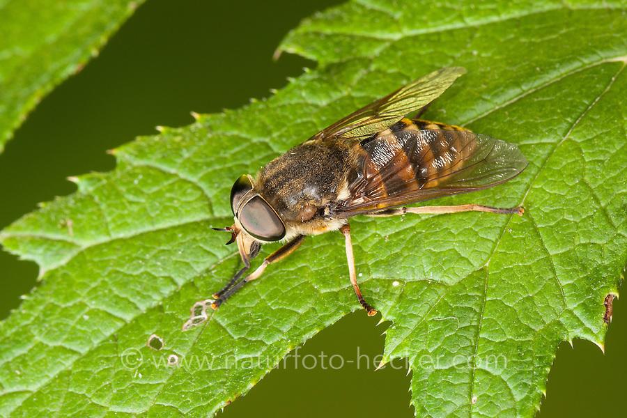 Pferdebremse, Pferde-Bremse, Bremse, Tabanus sudeticus, Bremsen, Tabanidae, dark giant horsefly, Giant Horsefly, horse-fly
