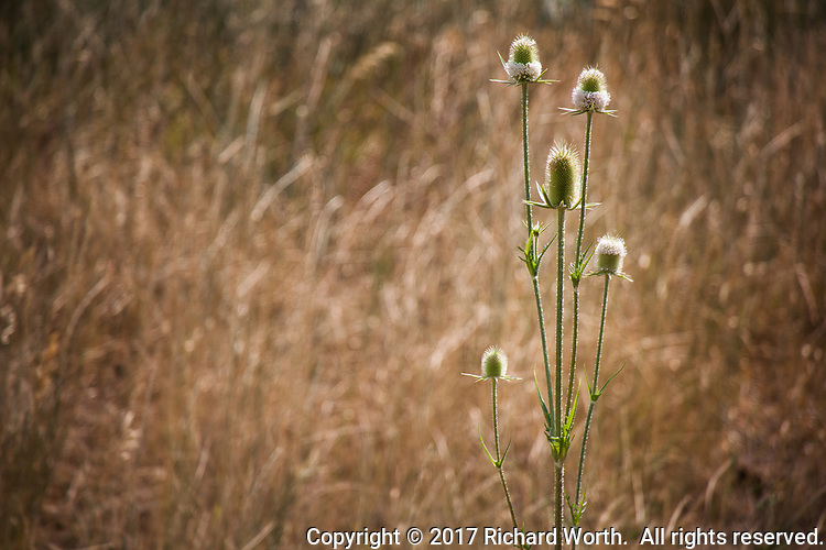 Lit from behind the spines on thistle flower bases glow like halos against a golden background of dry yellow grass.