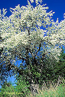 AT03-011d  Apple Tree - spring blossoms