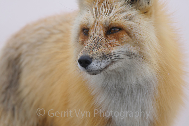Red Fox portrait. Gunnison County, Colorado.