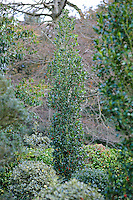 Ilex aquifolium 'Green Pillar'