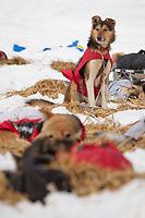 Aliy Zirkle dog keeps watch while the rest of team sleeps at Takotna during Iditarod 2009