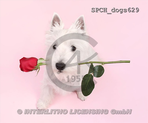 Xavier, ANIMALS, dogs, photos(SPCHdogs629,#A#) Hunde, perros