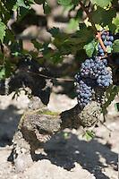 Europe/France/Aquitaine/33/Gironde/Listrac-Médoc:Château Cap-Léon Veyrin Cru Bourgeois de la Famille Meyre - le vignoble détail pied de vigne  cépage merlot