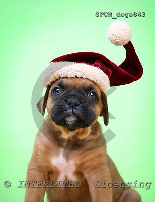 Xavier, CHRISTMAS ANIMALS, photos, SPCHDOGS843,#XA#
