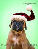 Xavier, CHRISTMAS ANIMALS, photos, SPCHDOGS843,#XA#