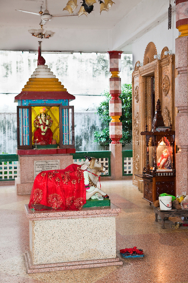 Stone Town, Zanzibar, Tanzania.  Shrine to Ganesh in Background, Sacred Cow in foreground,  Shree Shiv Shakti Mandir Hindu Temple, established 1958, in Stone Town. TWO DOZEN IMAGES OF HINDU TEMPLE AND CHURCHES AVAILABLE. WHAT DO YOU NEED?