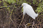 Lake Hodges, Escondido, San Diego, California; a snowy egret perched on a branch above the water along the rocky shoreline