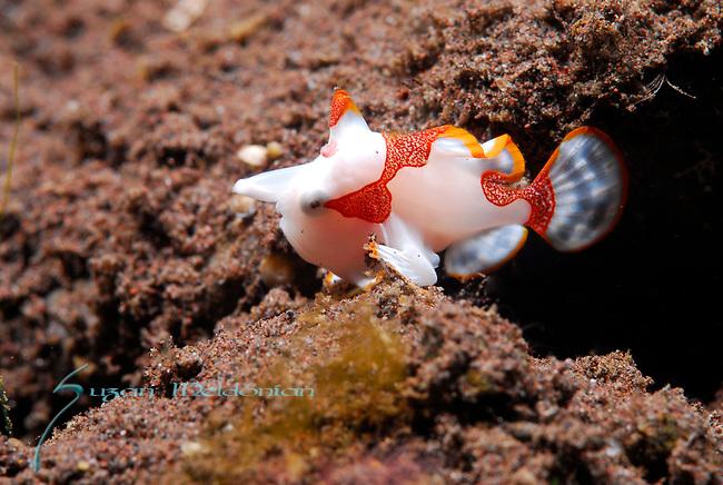 Warty Frogfish juvenile , Antennarius masculatus, Underwater macro marine life images;  Photographed in Tulamben; Liberty Resort; Indonesia.Underwater Macro Photographer on FB 2nd Annual event