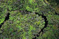 Meandering stream in native rainforest, Alakai Wilderness Preserve, Kauai. Aerial photo.