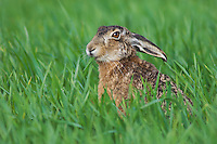 Brown Hare, Lepus europaeus, adult in meadow eating, National Park Lake Neusiedl, Burgenland, Austria, Europe