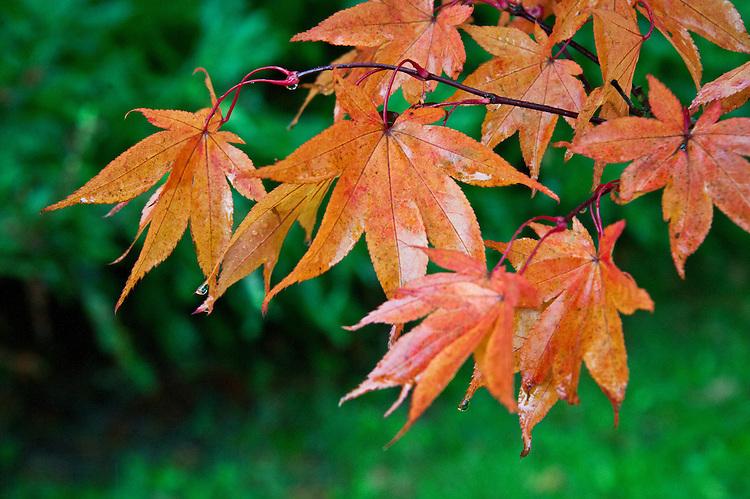 Japanese maple (Acer palmatum 'Osakazuki') , end October.