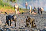 Adult Sulawesi or Celebes crested macaques or Sulawesi or Celebes black macaques (Macaca nigra)(known locally as yaki or wolai) foraging on exposed beach at low tide. Tangkoko National Park, Sulawesi, Indonesia.
