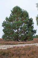 Wald-Kiefer, Waldkiefer, Gemeine Kiefer, Kiefern, Föhre, Pinus sylvestris, Scots Pine, Le Pin sylvestre
