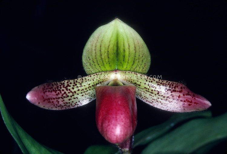 Paphiopedilum Duguesclin, orchid hybrid of sukhakulii x mastersianum primary hybrid, 1992