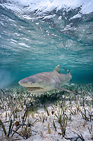 lemon shark, Negaprion brevirostris, Bahamas, Caribbean Sea, Atlantic Ocean