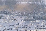 Pintails & whooper swans, Japan