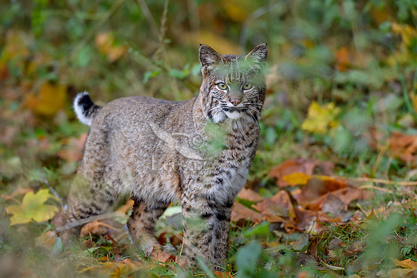 Wild Bobcat (Lynx rufus).  Olympic National Park, WA.  November.  (Completely wild, non-captive cat.)  Fallen bigleaf maple tree leaves in background.
