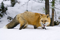 Red Fox snarling while standing in the snow - CA