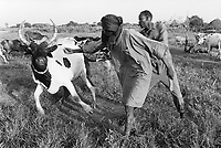 Sudan. Southern part. Bahr El Ghazal. Akoc. Dinka tribe area. Cattle camp. The ngo (non governmental organisation) Vétérinaires Sans Frontières (Veterinaries without borders) VSF Switzerland runs an antrax's vaccination campaign. © 1998 Didier Ruef