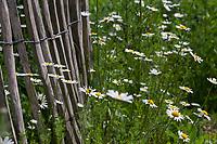 Unser Naturgarten in Hammer, Garten, insektenfreundlicher Garten, vogelfreundlicher Garten, blütenreich, Wildblumen, Wildblumengarten, Margerite, MArgeriten, Gartenzaun, Zaun, Staketenzaun, Stakettenzaun, Lattenzaun, Holzzaun, Rollzaun, garden fence, fence, hash mark, hashmark, batten fence, lattice fence, lattice fencing, paling fence