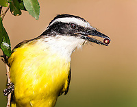 Great Kiskadee head image with red berry in beak