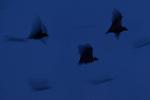 Straw-coloured Fruit Bats (Eidolon helvum) leaving thier roost site at dusk. Kasanka National Park, Zambia.