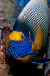 emperor angelfish swimming 45 degrees to camera, vvertical