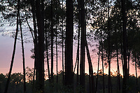 Silhouette of pine trees at dusk in the Landes forest, France Aquitaine