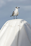 Bonaire, Netherlands Antilles; a juvenile Laughing Gull (Larus atricilla) bird stands on top of an umbrella at the Rum Runner's restaurant at Captain Don's Habitat , Copyright © Matthew Meier, matthewmeierphoto.com All Rights Reserved