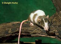MU60-075z  Pet mouse - exploring
