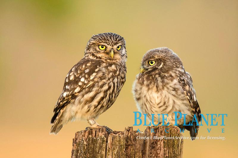 Two Little owls (Athene noctua), old and young animal sitting on tree stump, Rhineland-Palatinate, Germany, Europe