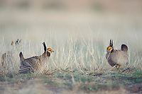 Adult male Lesser Prairie-chickens (Tympanachus pallidicinctus) on a lek. Cimarron National Grassland, Kansas. April.